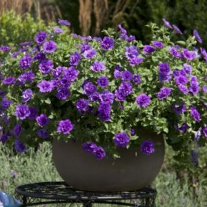 Vrtnarstvo Breskvar - Petunia Sweetsunshine Provence