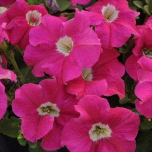 Vrtnarstvo Breskvar - Petunia Veranda Carmine