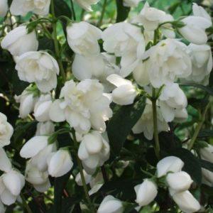 Vrtnarstvo Breskvar - Philadelphus Schneestrum