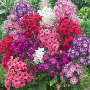 Vrtnarstvo Breskvar - Phlox drummondii