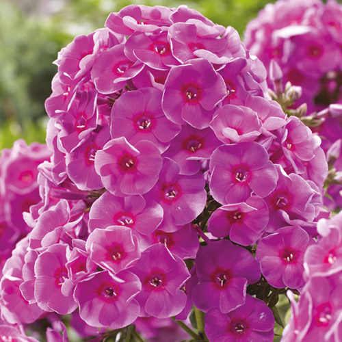 Vrtnarstvo Breskvar - Phlox paniculata Cosmopolitan
