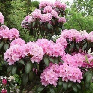 Vrtnarstvo Breskvar - Phlox paniculata Landhochzeit