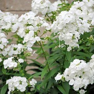 Vrtnarstvo Breskvar - Phlox paniculata White Flame