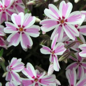 Vrtnarstvo Breskvar - Phlox Subulata Candy Stripes