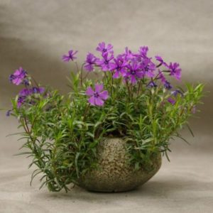 Vrtnarstvo Breskvar - Phlox subulata