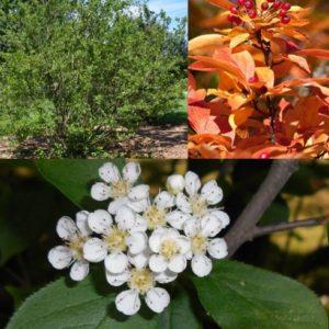 Vrtnarstvo Breskvar - Photinia fraseri Villosa