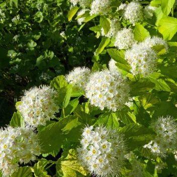 Vrtnarstvo Breskvar - Physocarpus Dart's Gold