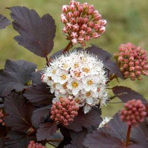 Vrtnarstvo Breskvar - Physocarpus Diabolo