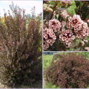 Vrtnarstvo Breskvar - Physocarpus Little Devil