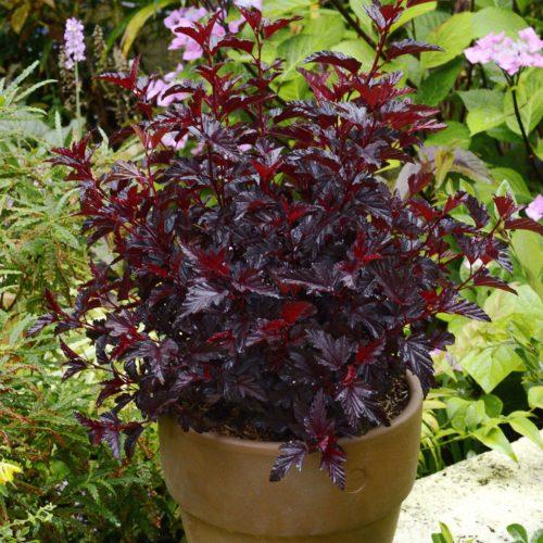 Vrtnarstvo Breskvar - Physocarpus opulifolius All Black Minall2