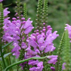 Vrtnarstvo Breskvar - Physostegia virginiana Vivid