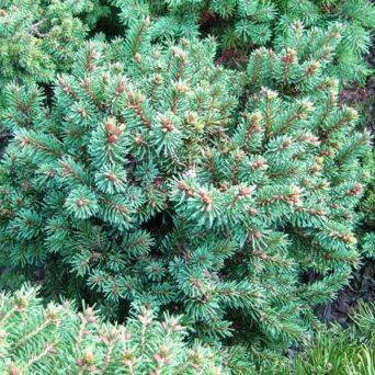 Vrtnarstvo Breskvar - Picea abies Ami