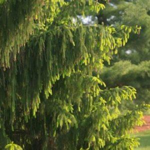 Vrtnarstvo Breskvar - Picea abies Aurea