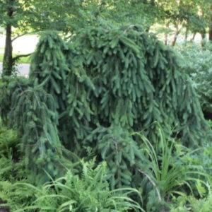 Vrtnarstvo Breskvar - Picea abies Inversa