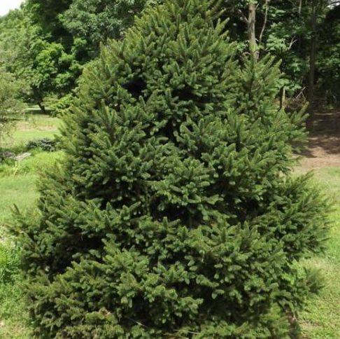 Vrtnarstvo Breskvar - Picea abies Will's Zwerg