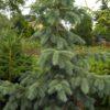 Vrtnarstvo Breskvar - Picea engelmannii Pendula