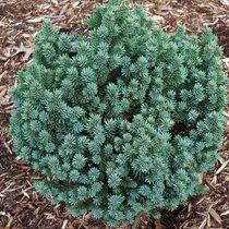 Vrtnarstvo Breskvar - Picea glauca Cecilia