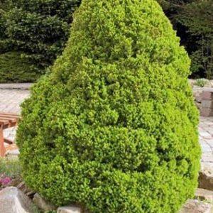 Vrtnarstvo Breskvar - Picea glauca Conica