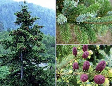 Vrtnarstvo Breskvar - Picea jezoensis