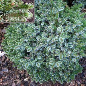 Vrtnarstvo Breskvar - Picea omorika Frondenberg
