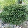 Vrtnarstvo Breskvar - Picea omorika Karel