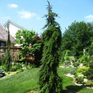 Vrtnarstvo Breskvar - Picea omorika Pendula Bruns