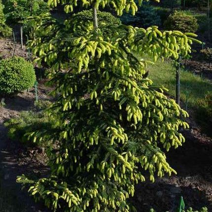 Vrtnarstvo Breskvar - Picea Orientalis Goldreif