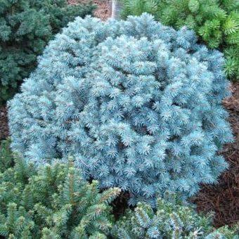 Vrtnarstvo Breskvar - Picea Pungens Blue Pearl