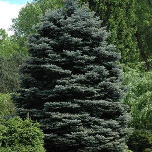 Vrtnarstvo Breskvar - Picea pungens Fat Albert