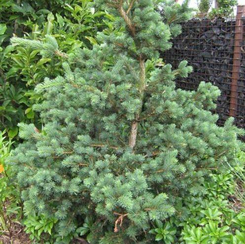 Vrtnarstvo Breskvar - Picea pungens Lucky Strike