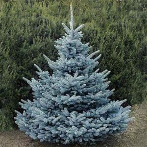 Vrtnarstvo Breskvar - Picea pungens Super Blue