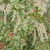 Vrtnarstvo Breskvar - Pieris japonica Little Heath