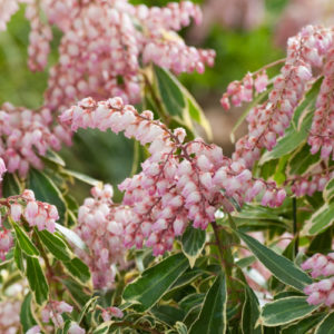 Vrtnarstvo Breskvar - Pieris japonica Ralto