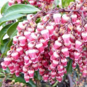 Vrtnarstvo Breskvar - Pieris japonica Valley Valentine
