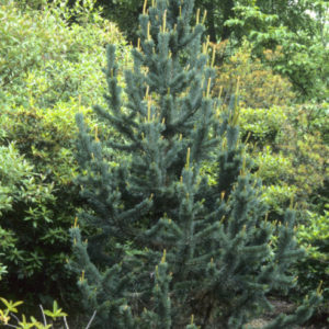 Vrtnarstvo Breskvar - Pinus aristata