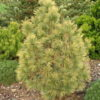 Vrtnarstvo Breskvar - Pinus Cempra Aurea