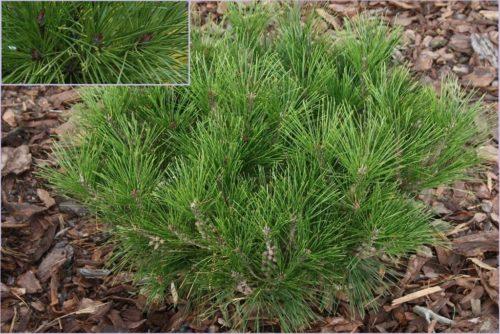 Vrtnarstvo Breskvar - Pinus densiflora Henry Bud