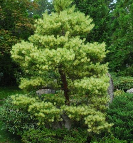 Vrtnarstvo Breskvar - Pinus Densiflora Oculus Draconis