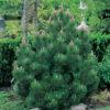 Vrtnarstvo Breskvar - Pinus heldreichii Compact Gem
