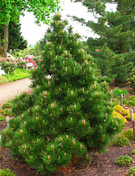 Vrtnarstvo Breskvar - Pinus leucodermis Malinki