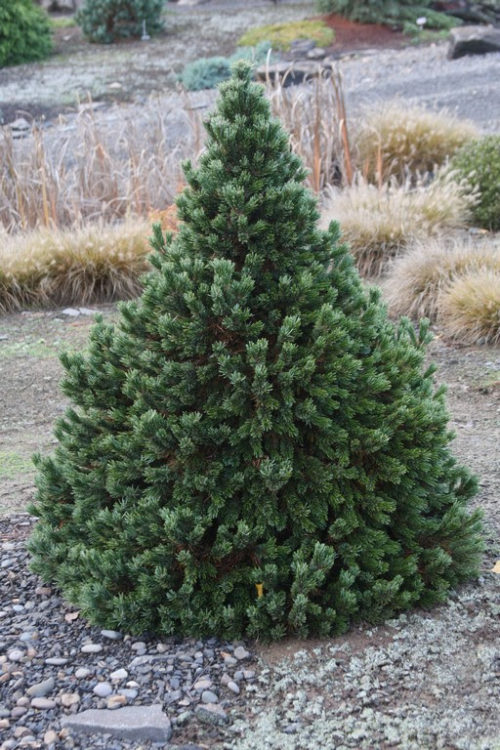 Vrtnarstvo Breskvar - Pinus Longaeva Sherwood Compact