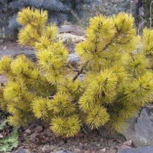 Vrtnarstvo Breskvar - Pinus mugo Carsten's Wintergold