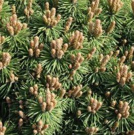 Vrtnarstvo Breskvar - Pinus mugo Fischleinboden