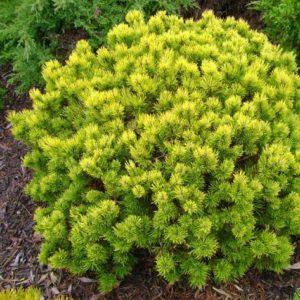 Vrtnarstvo Breskvar - Pinus mugo Ophir