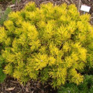 Vrtnarstvo Breskvar - Pinus mugo Winter Gold