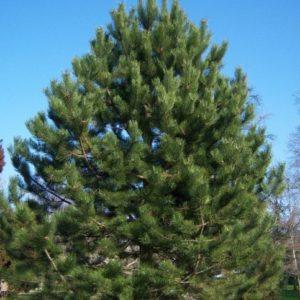 Vrtnarstvo Breskvar - Pinus nigra austriaca