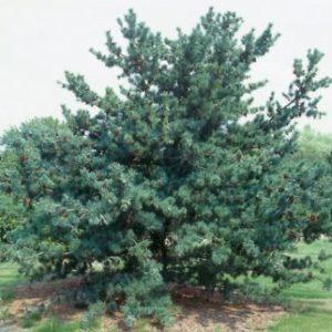 Vrtnarstvo Breskvar - Pinus parviflora Glauca