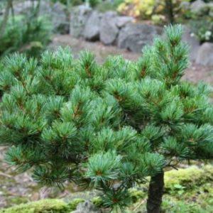 Vrtnarstvo Breskvar - Pinus parviflora Hagoromo