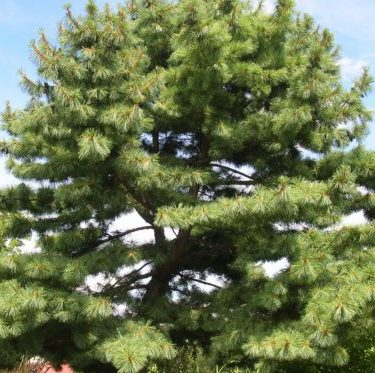 Vrtnarstvo Breskvar - Pinus Strobus