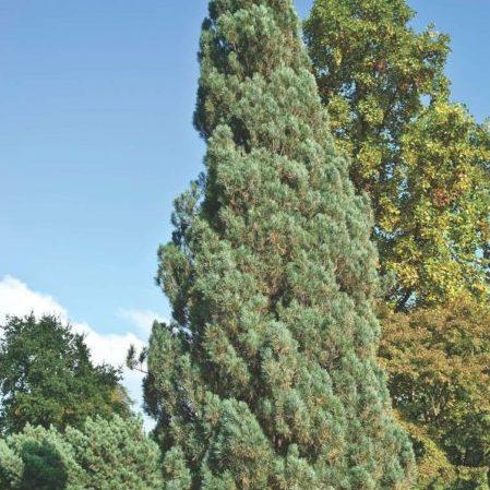 Vrtnarstvo Breskvar - Pinus sylvestris Fastigiata
